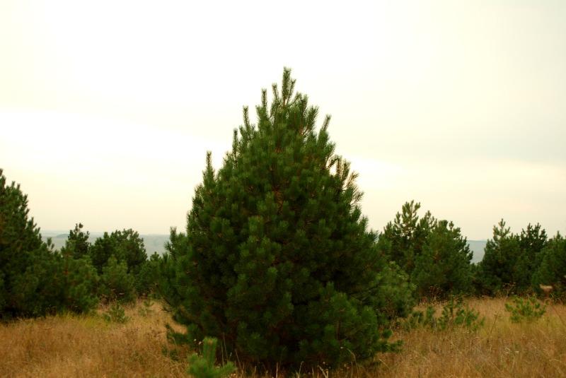 Хвойных деревьев на вашем участке