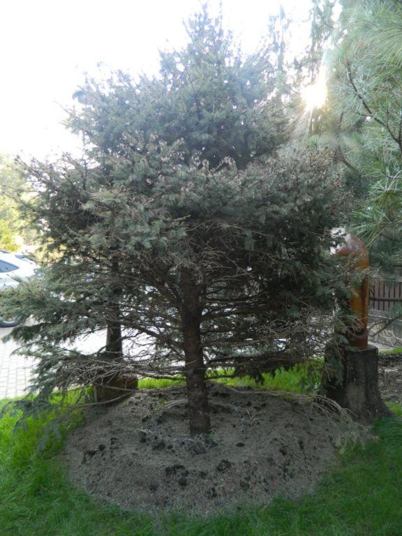 Вредители хвойных деревьев являются