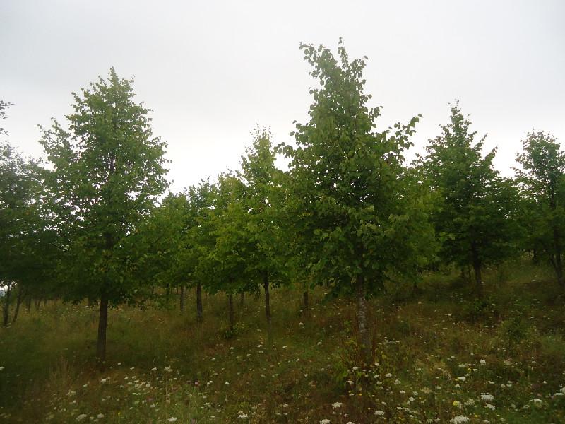 Продажа лиственных деревьев