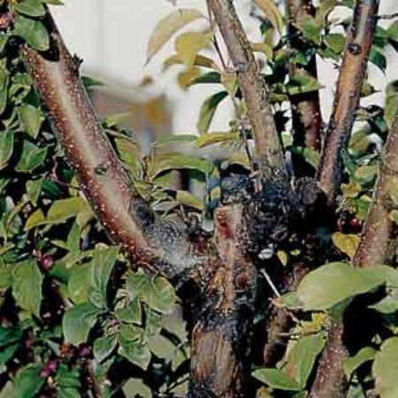 Возможно, на растении появилось бактериальное или вирусное заболевание и снабжение верхней части питательными веществами нарушено